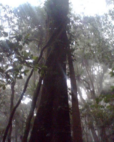 tall tree at Cunninghams Gap