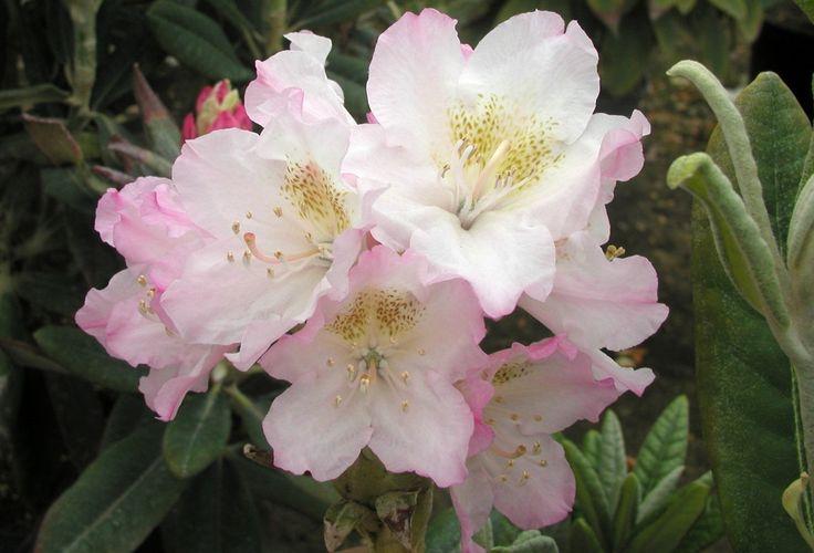 St. Michel Odmiana fińskiej hodowli. Kwiaty białe z lekkim odcieniem różu.