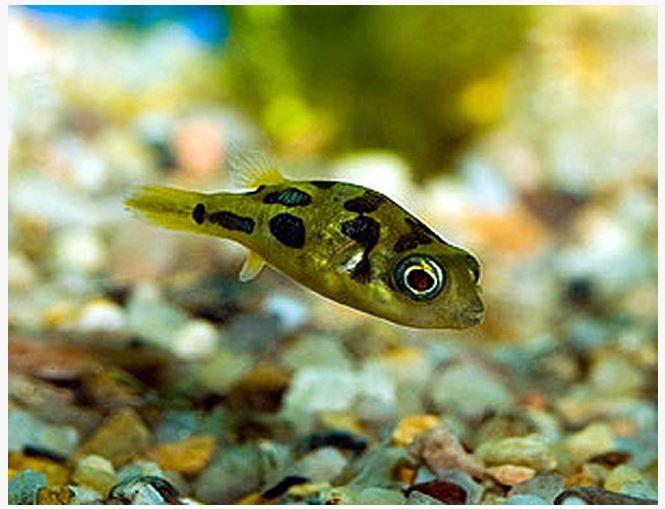 Dwarf Pea Puffer Arizona Aquatic Gardens Puffer Fish Aquatic Garden Breeds