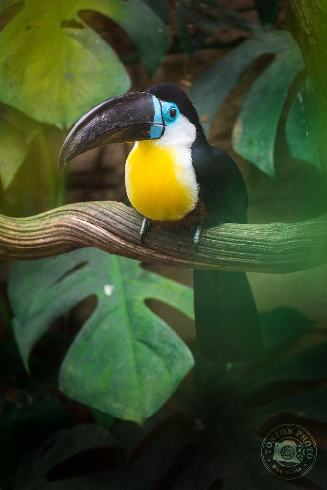 5 conseils & astuces pour photographier au zoo http://tontonphoto.fr/5-conseils-astuces-pour-photographier-au-zoo/ -- Toucan Vitellin au zoo de Beauval © Clément Racineux / Tonton Photo