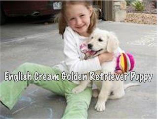 White Golden Retriever Puppies For Sale, Visit www.englishpups.com