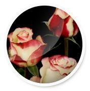 Розы чайно-гибридные сорта
