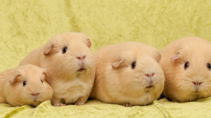 Guinea Pig HD Wallpapers Backgrounds Wallpaper