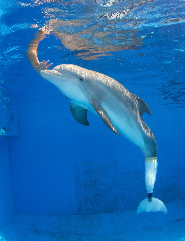 Winter the Dolphin at the Clearwater Marine Aquarium ...