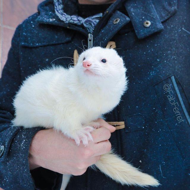 Pretty White Ferret Baby Ferrets Pet Ferret Cute Ferrets
