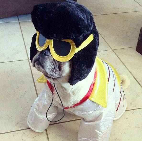 17 Best images about Pug Halloween Costumes on Pinterest ...