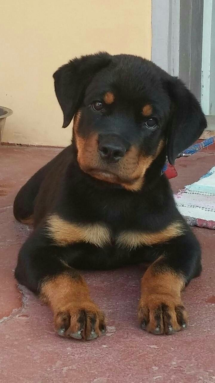 What I Can Have A Treat Now Thanks Mom Rottweiler Puppies