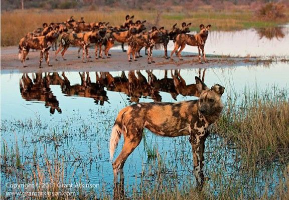 The Okavango Delta's inscription as a World Heritage Site is a major conservation milestone #Wild_dog #ChitabeCamp