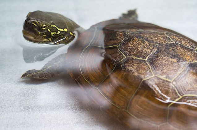 The Reeve's Turtle, which is also known as the Chinese Pond Turtle, is a popular breed in the pet world.