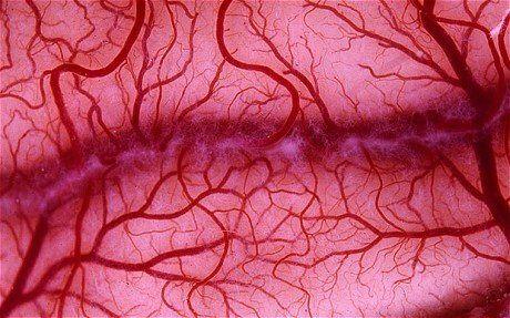 Human Blood-vessels