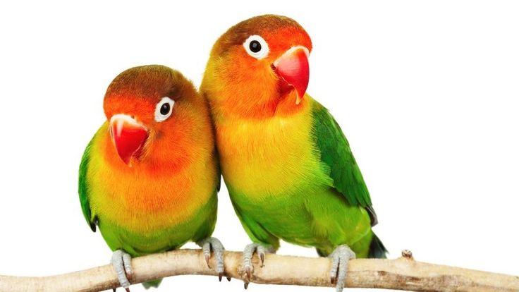 Zwei Papageien, Pfirsichköpfchen, auf einem Ast