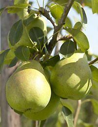 Päärynä Aunen päärynä - Viherpeukalot