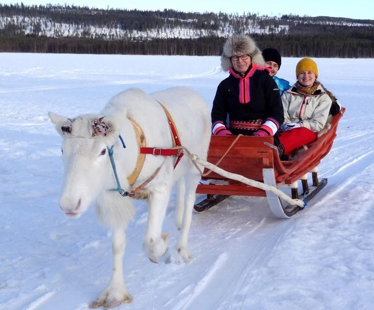 A reindeer ride at the end of the winter in Puolukkamaan Pirtit Reindeer Farm and resort in Pello in Finnish Lapland