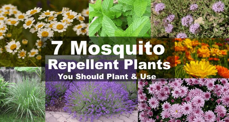 7 versatile plants that repel mosquitoes and much more. These insect and mosquito repellent plants can be used on your skin, outdoors and around the home.