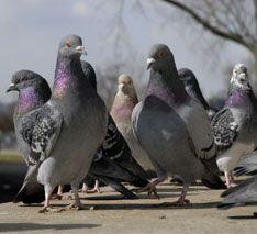 pigeons-ledge