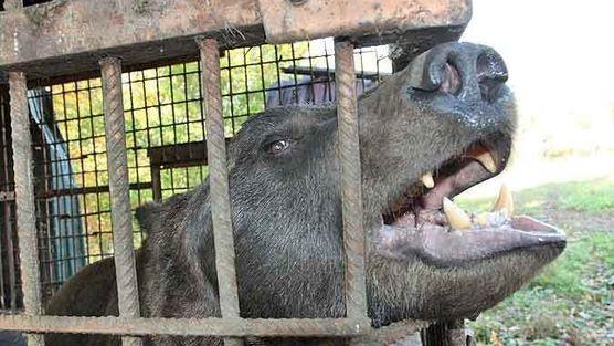 Помогите освободить этого медведя Более 100 тысяч человек требуют от губернатора Самарской области помочь освободить медведя, запертого в клетке около трассы М-5. Медведь умирает от истощения, при этом он постоянно используется для тренировки охотничьих собак.