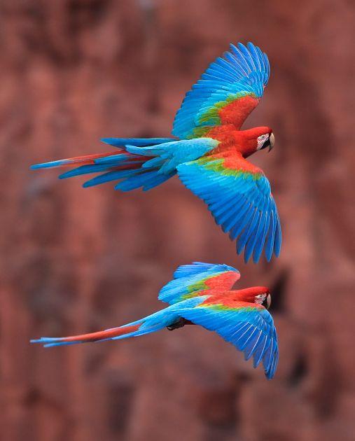 Foto arara-vermelha-grande (Ara chloropterus) por OctavioSalles   Wiki Aves - A Enciclopédia das Aves do Brasil