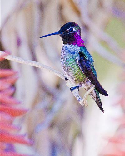 ˚Costa's Hummingbird