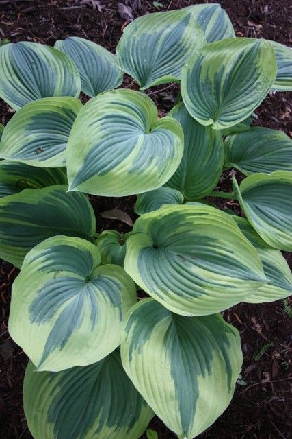 """Hosta Earth Angel  A marvelous white-edged mutation of Hosta 'Blue Angel'. Each 5' wide clump is composed of thick, wide, pointed blue leaves, each surrounded by a 1"""" wide, creamy border (yellow in spring). Hosta 'Earth Angel' is the first giant blue hosta to have a border.  $20"""