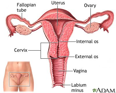 Uterine anatomy: uterus, fallopian tubes, ovaries, internal and external cervical os, vagina, labium minor. Image from the NIH