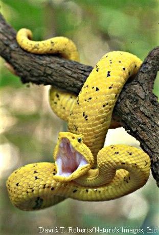 Eyelash Viper (Bothriechis schlegelii). Follow www.biologycoachonlineblog.webs.com for more. #biologycoachonliine #heybiologycoach