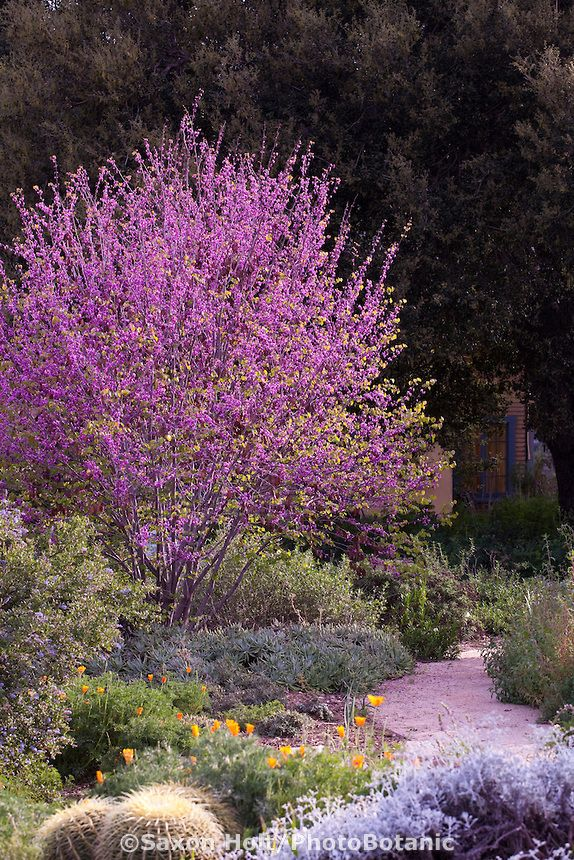 Flowering Western Redbud tree (Cercis occidentalis) in Southern California, drought tolerant native plant garden