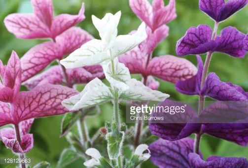 Image result for Salvia viridis