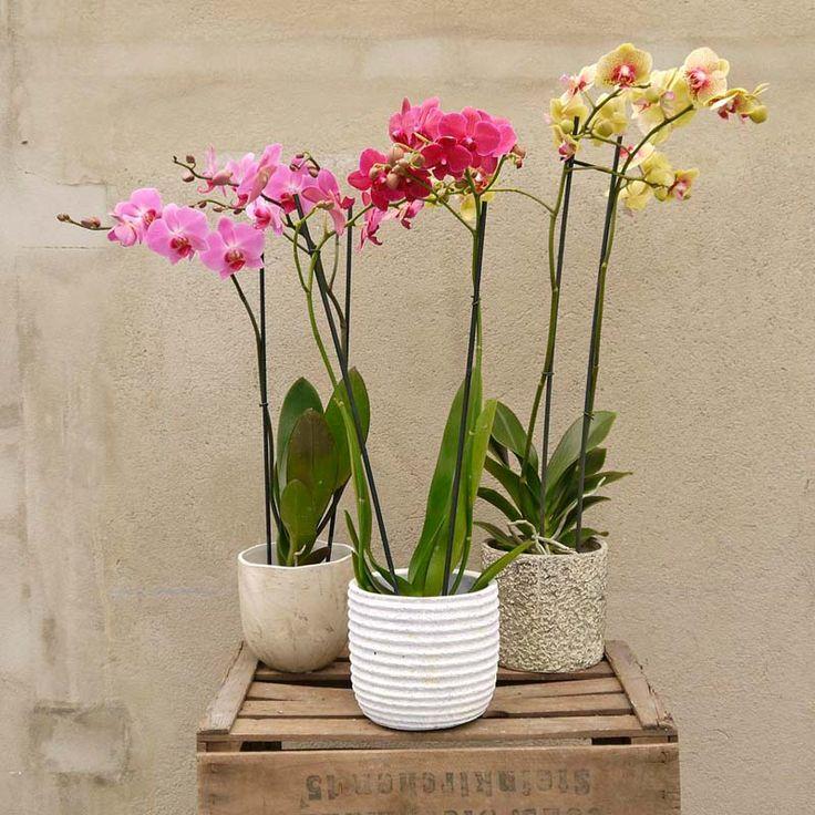 Sus formas voluptuosas y colores intensos hacen que las orquídeas sean la opción perfecta para regalar flores y adornar el jardín o el interior de una casa.