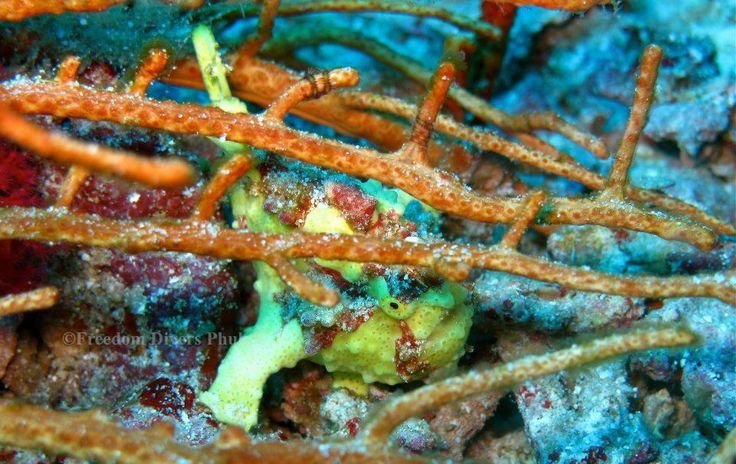 Hiding Frogfish: Scuba diving in paradise - Similan & Surin Islands, Freedom Divers Phuket http://freedom-divers.com
