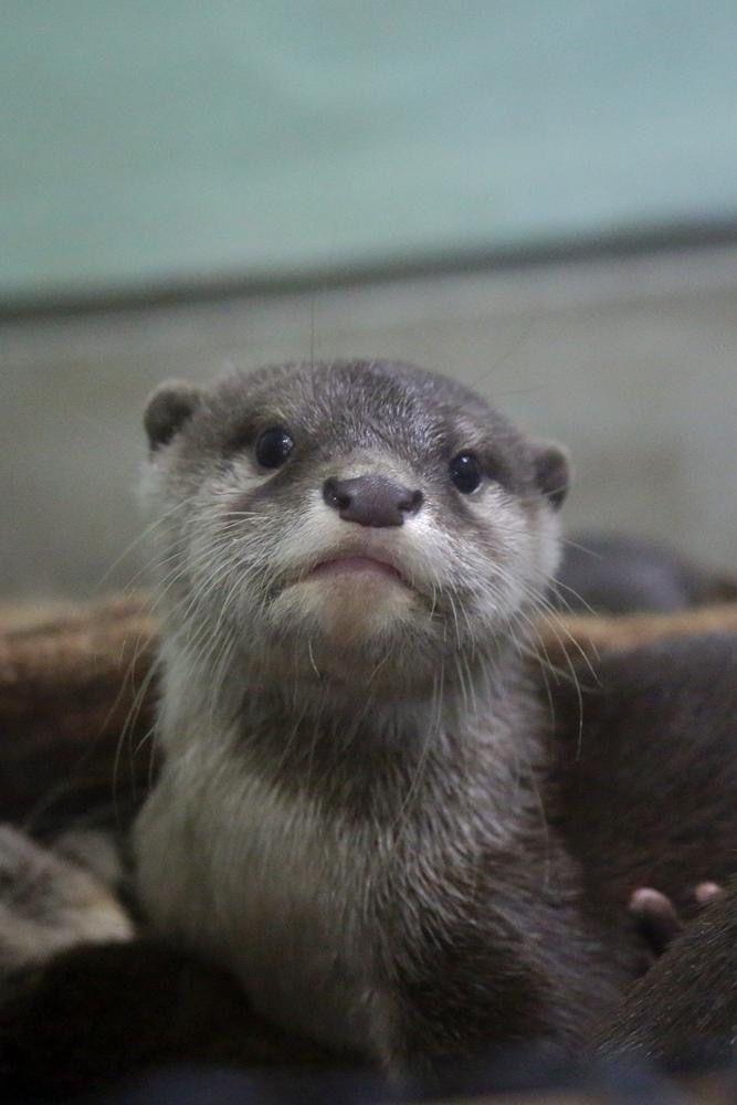 Little otter is adorable   From Otterbeginner   https://twitter.com/otterbeginner/status/571251619767062529