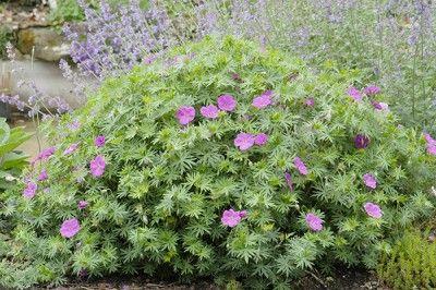 Geranium vivace sanguin ou sanguineum formidable plante couvre sol jardin pinterest blog - Beau jardin rose and geranium ...