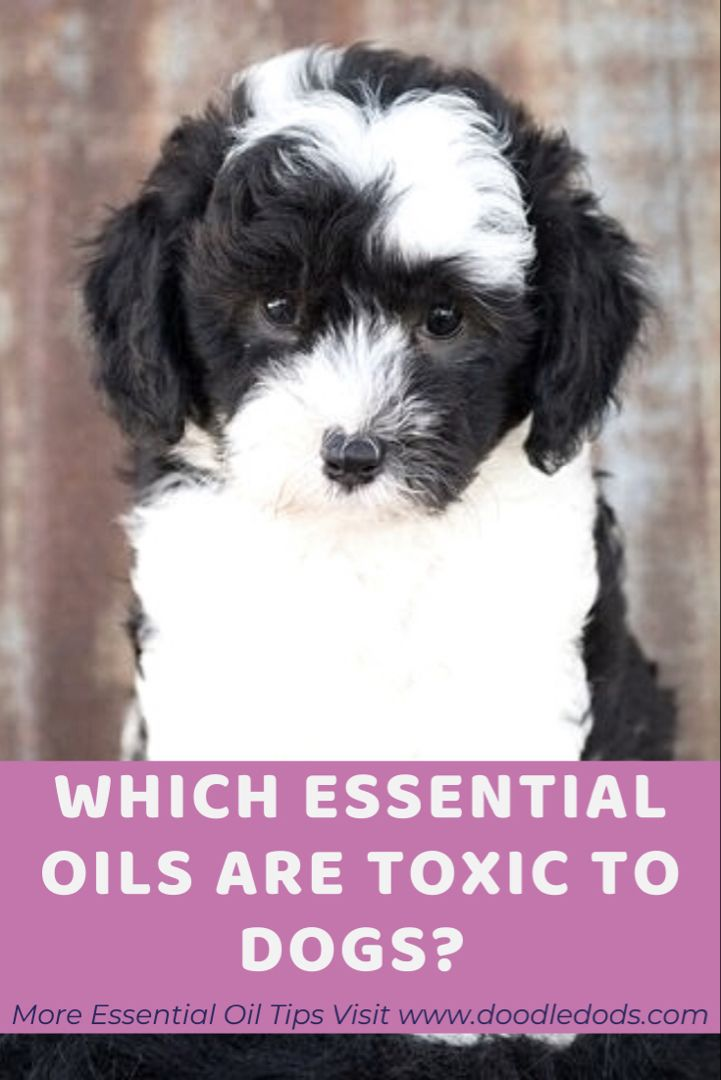 Which Essential Oils Are Toxic For Dogs Doodle Doods In 2020 Are Essential Oils Safe Essential Oils Dogs Oil Safe