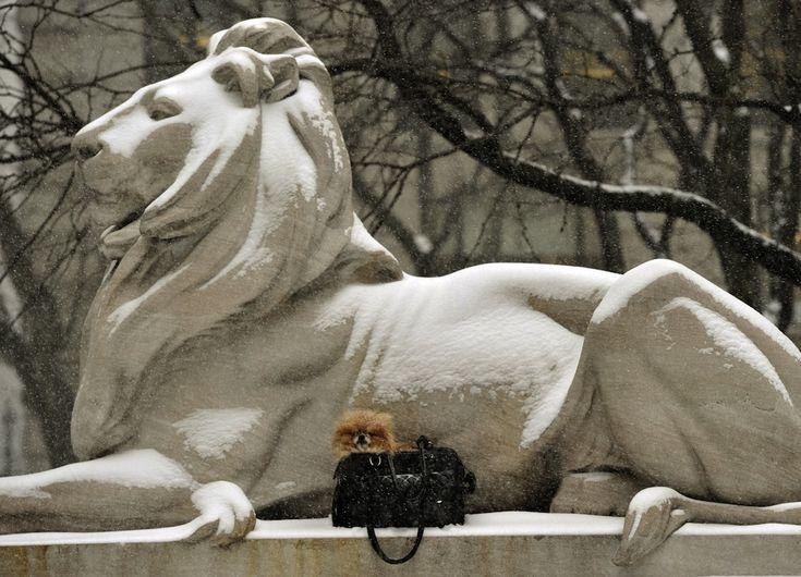 IlPost - New York, Stati Uniti - Un cane in una borsa davanti alla statua del leone alla New York Public Library, durante una nevicata a New York. TIMOTHY CLARY/AFP/Getty Images)