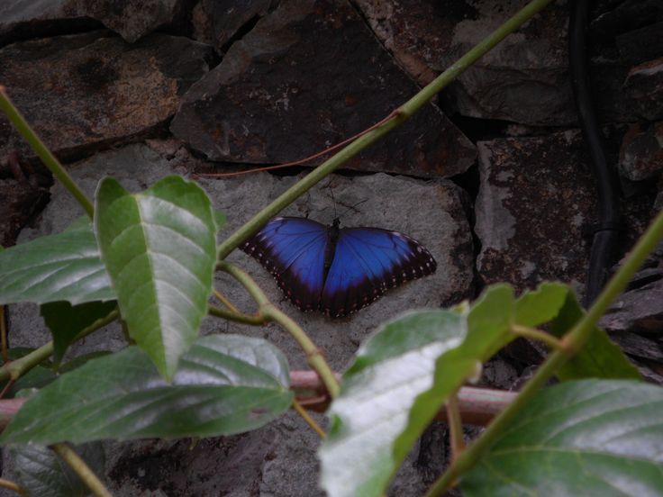 Kanaryjski  motyl in blue mood