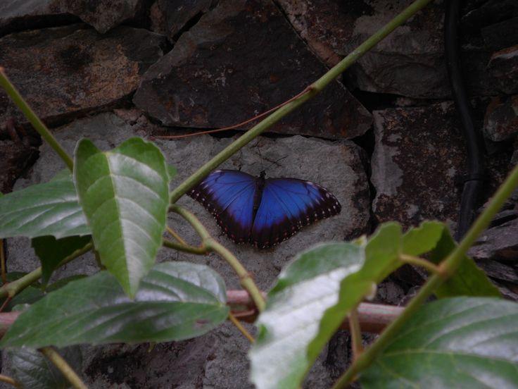 Kanaryjski  motyl in blue mood