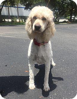 Goldendoodle Mix Dog for adoption in St. Petersburg, Florida - Margot - Goldendoodle