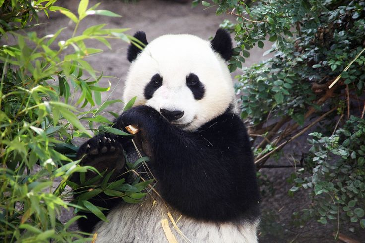 Giant panda populations are finally recovering thanks to the efforts of conservationists and animal welfare activists who worked hard to petition the Chinese government to protect this fragile species. Sign to thank the agency that listened to the people.