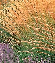 Calamagrostis Karl FoersterClay Soil, Acutiflora Karl, Karl Foerster, Full Sun, High Meadow, Plants, Colombie Inspiration, Feathers Reading, Calamagrostis Karl