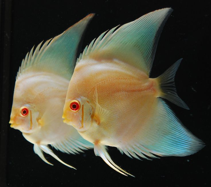 Discus Fish | of discus after 6 generations this mutation developed for one discus ...
