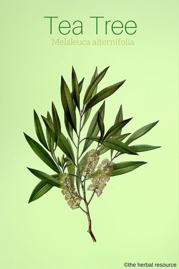 Tea Tree Melaleuca alternifolia