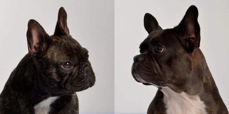 Longer Muzzle - Hawbucks Franse Bulldog Kennel
