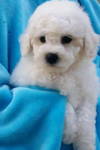 I have 2 females and I little boy ready to go on 25/01/16. Babies will be vaccinated, microchipped, vet checked and wormed. Both parents are home raised and are loving gentle natured dogs - https://www.pups4sale.com.au/dog-breed/421/Bichon-Frise.html