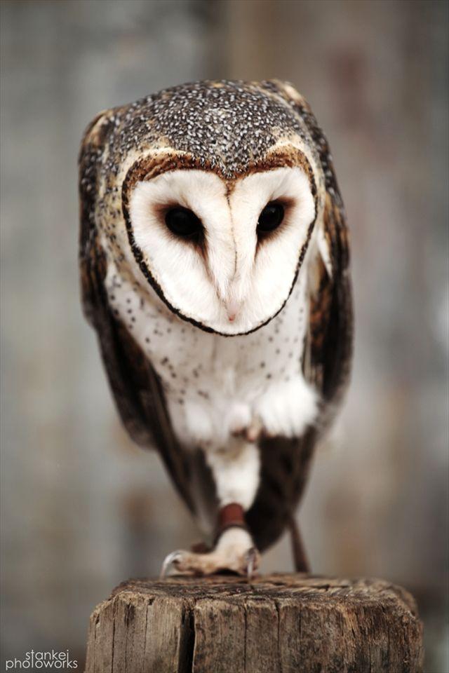 Australian Masked Owl (Tyto novaehollandiae)