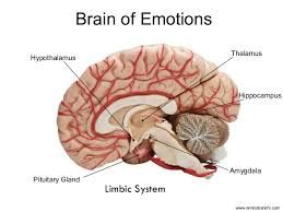 Image result for attachment amygdala | Structure and ...