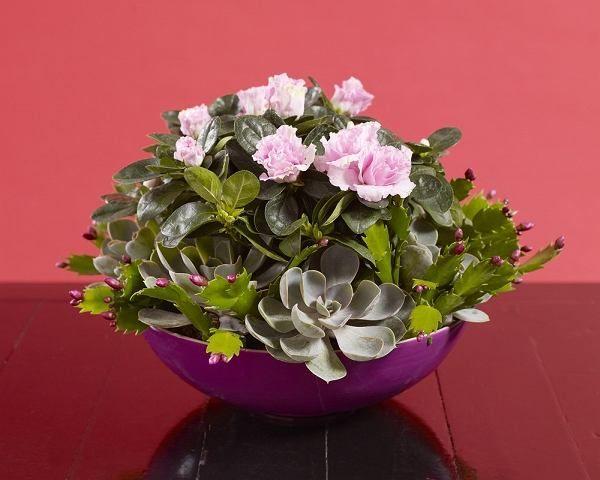 Kompozycja Z Grudnika Azalii I Eszewerii Rosliny Doniczkowe Modne Zima Plants Potted Plants Flowers
