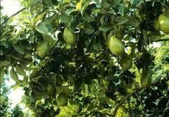 Paquetaense: Abacate | Os benefícios de consumir abacate