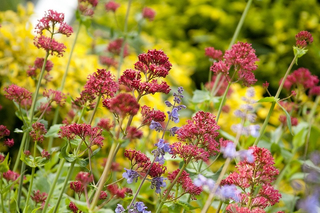 36 best centranthus images on pinterest hummingbird for Garden outlay ideas