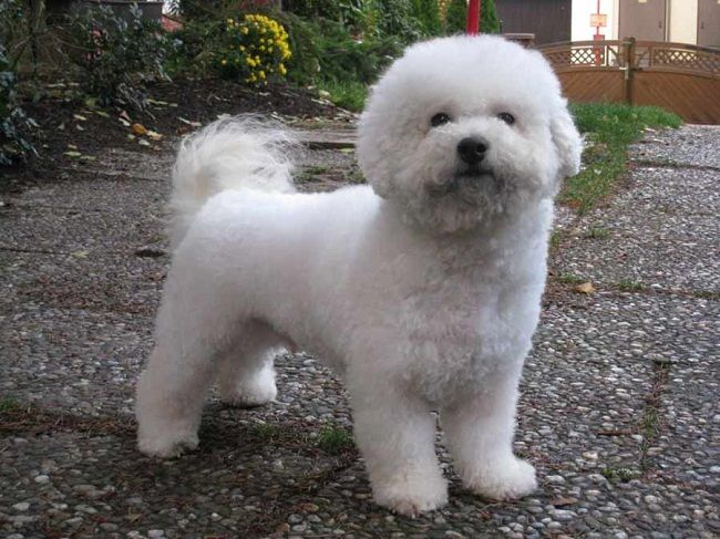 small fluffy dog breeds that don't shed | puppies ...