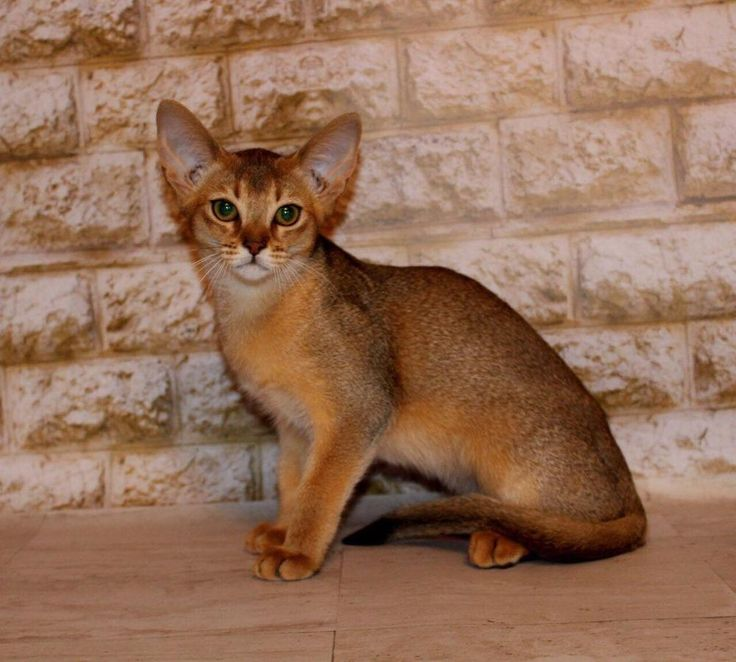 Galatea in a ruddy color purebred Abyssinian kitten Gender ...