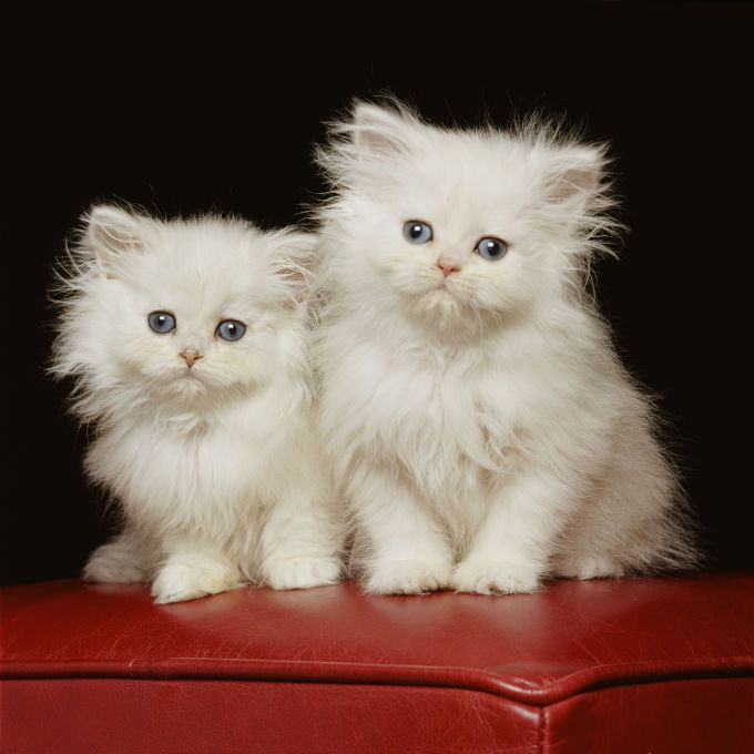persian-cats-and-kittens-9.jpg (680×680)